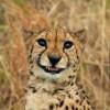 Tony The Leopard avatar